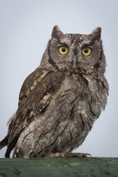 close up portrait of a western screech owl Megascops perched and staring forward