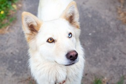Close-up portrait of a white dog with heterochromia. Eyes of different colors. Unusual, special. Looks into the camera. Day of dogs.
