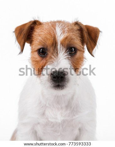 close-up portrait of a white puppy Jack Russell Terrier isolated white background #773593333