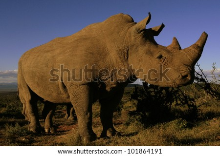 Close up portrait of a white rhino in South Africa