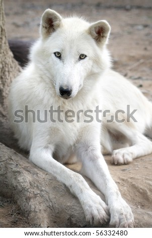 Close up portrait of a white wolf
