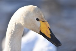 Close-up portrait of a whooper swan (Cygnus cygnus)
