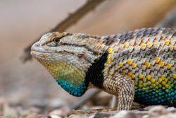 Close up portrait of a wild male Desert Spiny Lizard doing a courtship display. Bright blue, yellow, gray and brown colors. Beautiful reptile showing off for the females. Pima County, Tucson, Arizona.