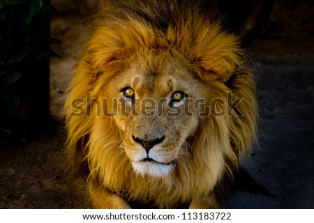Close-up portrait of a young lion