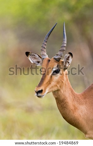 Close-up portrait of a young male Impala; aepyceros melampus; South Africa