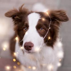 Close up portrait of Adorable Brown Border Collie among christmas garland lights.