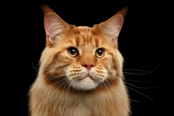Close-up Portrait of Adorable Ginger Maine Coon Cat Curious Looking in Camera Isolated on Black Background, Front view