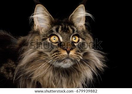 Close-up Portrait of Adorable Maine Coon Cat Stare up Isolated on Black Background, Front view