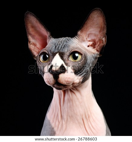 Close-up portrait of adult hairless Don Sphinx on black background