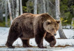 Close up portrait of adult male Brown Bear (Ursus arctos) on a snow-covered swamp in the spring forest. Eurasian brown bear  (Ursus arctos arctos)