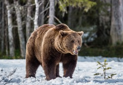 Close-up Portrait of Adult Male of Brown Bear (Ursus arctos) on the snow in sunset light. Spring forest, swamp
