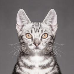 Close-up portrait of american shorthair cat