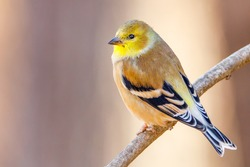 Close up portrait of an American Goldfinch (Spinus tristis) perched on a tree limb during autumn. Selective focus, background blur and foreground blur