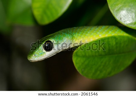 Close-up portrait of an eastern green snake (Philothamnus natalensis), South Africa