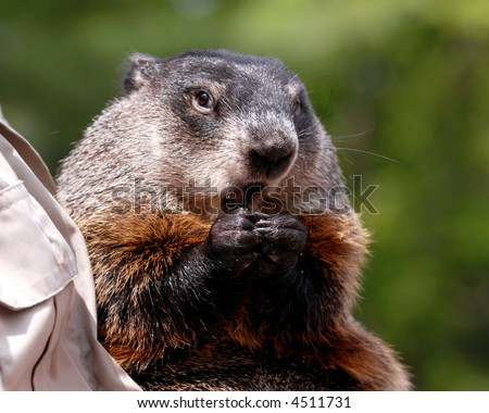 Close up portrait of an eating groundhog being held by a park ranger.