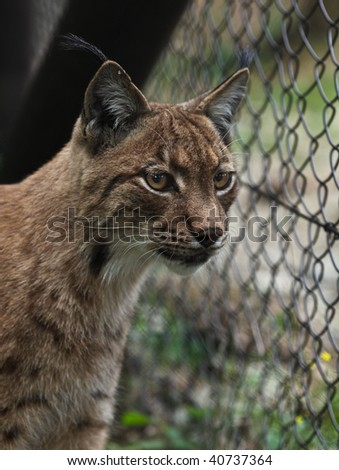 Close-up portrait of an Eurasian Lynx (Lynx lynx) - stock photo
