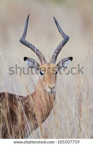 Close up portrait of an impala ram