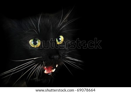 Close up portrait of angry  black cat
