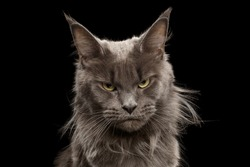 Close-up Portrait of Angry Gray Maine Coon Cat Grumpy Looking in Camera Isolated on Black Background, Front view
