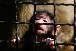 close up portrait of baboon monkey baby in cage