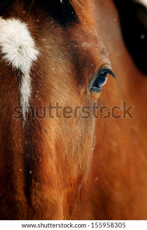 Close-up portrait of bay horse in winter