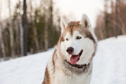 Close-up portrait of beautiful dog breed siberian Husky sitting in the forest in the early spring at golden sunset. Image of beige and white Husky topdog looks like a wolf on snow background
