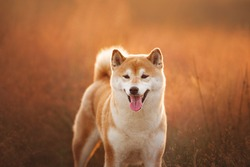 Close-up Portrait of beautiful red Shiba inu dog standing in the field at golden sunset in summer. Happy japanese shiba inu dog in backlight