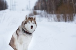Close-up Portrait of beautiful siberian husky dog sitting on the snow in winter forest on the slope and observing mountais. Image of Husky topdog looks like a wolf