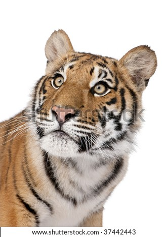 Close-up portrait of Bengal tiger, Panthera tigris tigris, 1 year old, in front of white background, studio shot