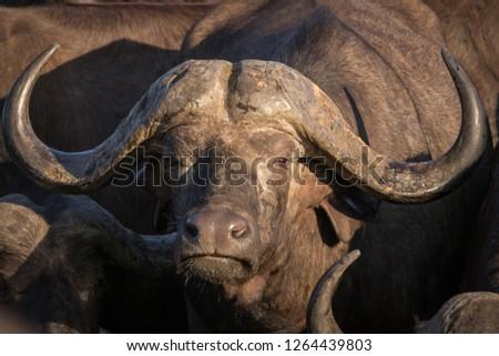 Close up portrait of big trophy male African Cape buffalo.