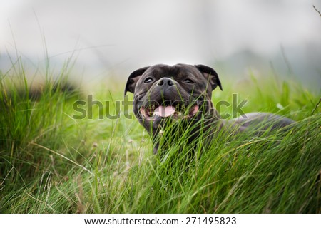 Close-up portrait of black staffordshire bull terrier lying on lawn grass  #271495823