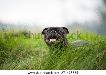 Close-up portrait of black staffordshire bull terrier lying on lawn grass  #271495865