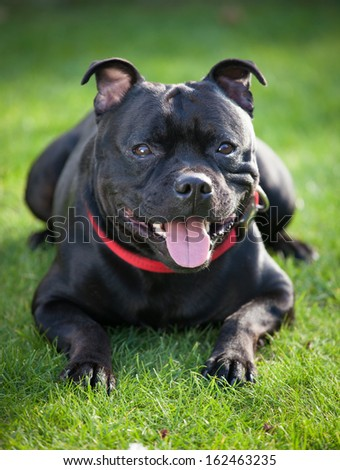 Close-up portrait of black staffordshire bull terrier lying on lawn/grass on a sunny day (color toned image) #162463235