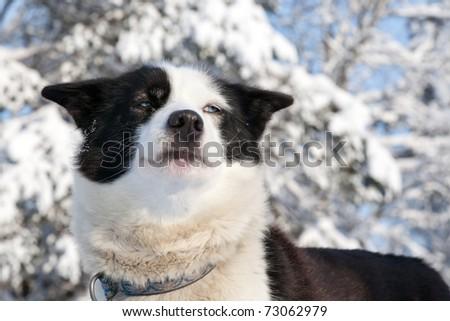 close-up portrait of blue-eyed sled dog a Chukchi husky breed dog on winter background