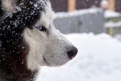 Close up portrait of blue eyes husky dog in snow on winer background