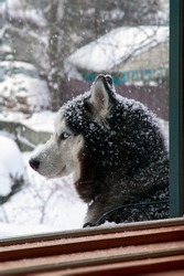Close up portrait of blue eyes husky dog in snow on winer background. Snowy weather.