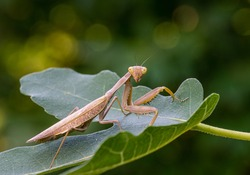 Close-up portrait of brown female European Praying Mantis in natural habitat. Mantis Religiosa looking at camera and sits on Ficus carica leaf. Nature concept. Soft selective focus.