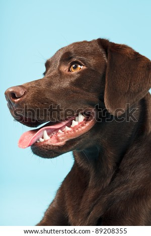 Close-up portrait of brown labrador retriever isolated on light blue background
