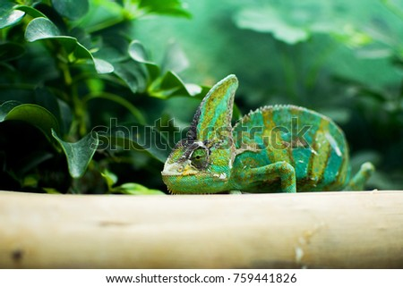 Close up portrait of chameleon adhere on a brown timber with a green leaves and tree nature background. #759441826