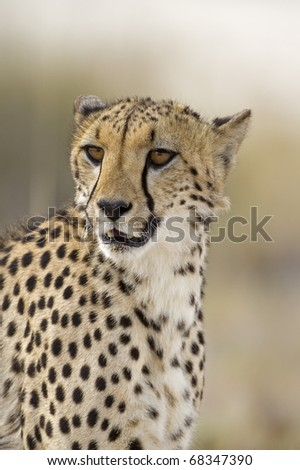 Close-up portrait of Cheetah; Acinonyx jubatus; South Africa