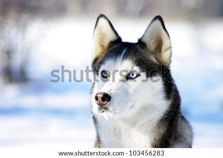 close-up portrait of Chukchi husky breed dog on winter background