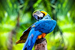 close up portrait of colorful blue and yellow macaw parrot Ara ararauna