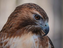 Close up portrait of contemplative redtail hawk with soft background