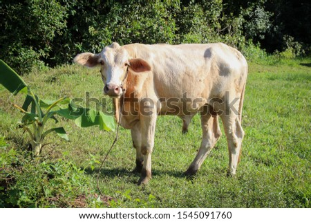 Close up portrait of cow at village. Cows standing on the ground. Traditional cow in asia, cow resting. Asia Cow #1545091760