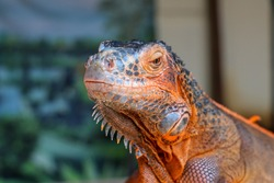 Close-up portrait of curious Iguana reptile. Iguane lizard portrait macro, close-up. Portrait front view to colorful exotic iguana resting on wood, with skin in red, orange, yellow and blue tones.