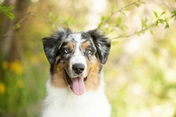 Close-up Portrait of cute australian shepherd dog posing in the park on yellow dandalion's background. Lovely and happy young blue merle aussie dog sitting under the apple tree in summer