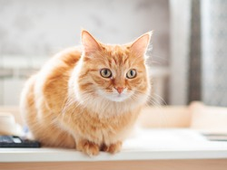 Close up portrait of cute ginger cat. Fluffy pet is staring. Domestic kitty sitting on table.