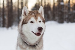 Close-up portrait of dog breed siberian Husky sitting on the snow in winter forest at sunset. Husky topdog looks like a wolf