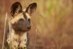 Close-up portrait of endangered African Wild Dog, puppy, Lycaon pictus, staring from dry grass against blurred reddish savanna. Wildlife, ground level photo, KwaZulu Natal, South Africa.