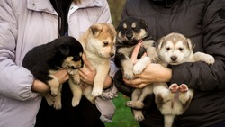 Close up portrait of four small husky puppies. A person holds small puppies in the hands. sleepy husky puppies. image for veterinary clinics, sites about dogs
